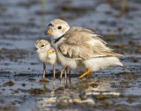 Piping Plover and babies on water 3.jpg