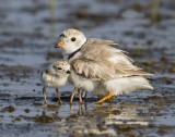 Piping Plover and babies on water.jpg