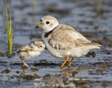 Piping plover baby leans on mom.jpg