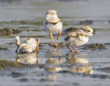Piping Plover babies uncovered.jpg