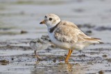 Piping Plover with baby facing on water.jpg