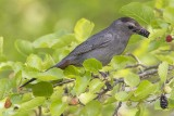 Catbird with mulberry.jpg