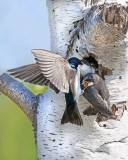 Tree swallow feeds 1 baby as sibling fledges.jpg