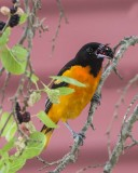 Oriole with mulberry.jpg