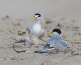 Least Tern baby gets fish.jpg