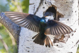 Tree swallow feeds baby.jpg