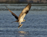 Osprey with flounder.jpg