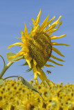 Sunflower with bee flying.jpg