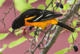 Oriole poses by barn and mulberries.jpg