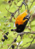 Oriole eating mulberry 2.jpg