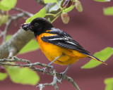 Oriole eating mulberry 3.jpg