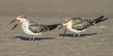 Juvenile Black Skimmers at Sandy Pt.jpg