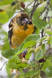 Juvenile Baltimore Oriole eating mulberry.jpg