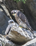Peregrine chick with mom.jpg