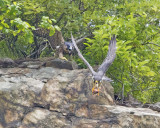 Pereg fledgling yells as dad flies by with prey.jpg