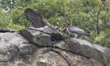 Peregrine brings prey to fledgling.jpg