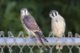 Kestrel male and female fledglings.jpg