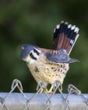 Kestrel male fledgling on fence.jpg