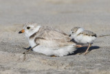 Piping Plover with baby behind.jpg