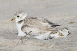 Piping Plover with sleeping baby.jpg