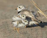Piping Plover with 2 babies.jpg