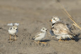 Piping Plover with 2 babies 1 stretches.jpg
