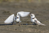 Piping Plover fight.jpg