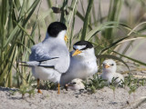 Least Tern newborn family.jpg
