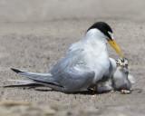 Least Tern cuddles  chicks.jpg