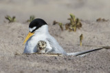 Least Tern cuddles baby.jpg