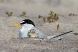 Least Tern cuddles baby 2.jpg