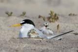 Least Tern cuddles baby + 1.jpg