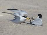 Least Tern baby gets fish.jpg