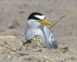 Least Tern and baby with fish.jpg