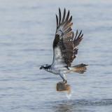 Osprey with flounder.jpg