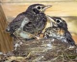 Robins on nest.jpg