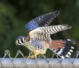 Kestrel fledging flaps on fence.jpg