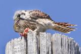 Female Kestrel eating prey.jpg
