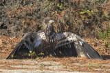 Eagle juv protects fish.jpg