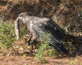 Juvenile Eagle with fish.jpg