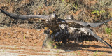 Eagle Juveniles fight for fish.jpg
