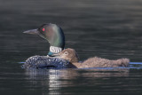 Loon chick leans on mom.jpg