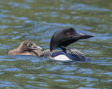 Loon with chick on left.jpg
