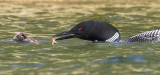 Loon offers fish to baby.jpg