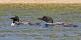 Loon pair with chick.jpg