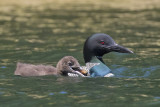 Loon chick with crayfish with mom.jpg