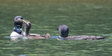 Loon chick swallows fish adults watch_.jpg