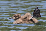 Loon chick with leg up.jpg
