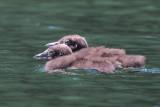 Loon chick pair.jpg