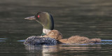 Loon chick leans on mom 2.jpg